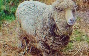 oldest sheep